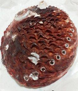 australian abalone nat. clean 10 cm - unid