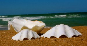 china clam unpair 8 cm - unid