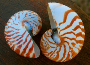 nautilus natural polished 13 cm - unid