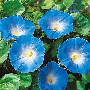 Morning Glory Heavenly Blue (Ipomoea tricolor/violacea) - sementes
