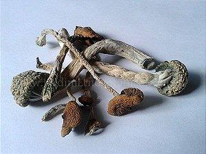 Psilocybe cubensis TKSSS - Cogumelos desidratados