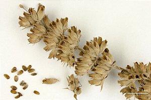 Salvia Branca (Salvia apiana) - 25 sementes para cultivo
