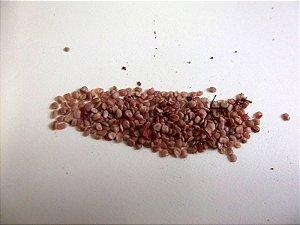 Goji Berry (Lycium barbarum) - 100 sementes para cultivo