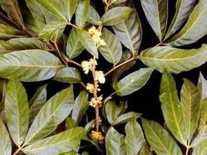 Marapuama (Ptychopetalum olacoides) Em pó