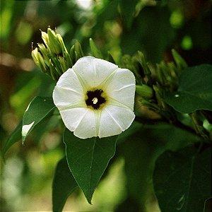 Ololiuqui (Rivea corymbosa) - 1 Muda