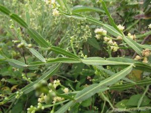 Carqueja Doce (Baccharis articulata) - Folhagem