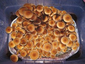 Psilocybe cubensis SYZYGY - Carimbo de esporos para cultivo