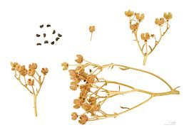 Arruda (Ruta Graveolens) - 20 sementes