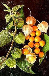 Physalis (physalis Peruviana) - 50 sementes