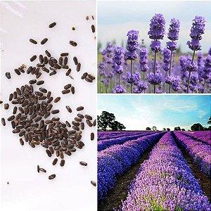 Lavanda/ Alfazema (Lavandula sp.) - Sementes para cultivo