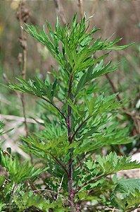 Artemísia (Artemisia vulgaris) - Sementes para cultivo
