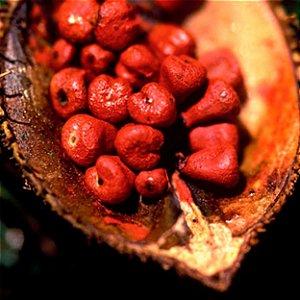 Urucum (B. orellana) - 10 gramas de sementes para cultivo