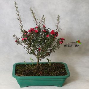 Bonsai Erica (Érica)