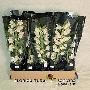 Orquídea Dendrobium Caixa