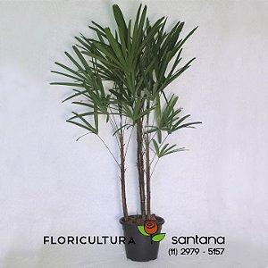 Palmeira Raphis Vaso de Plastico pote 24 com 3 ASTES