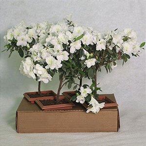 Azaleia Bonsai Caixa