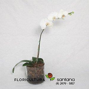 Orquídea Phalænopsis Vaso Cilíndrico