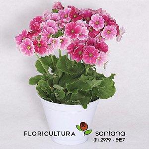 Flor Prímula  Vaso de Alumínio