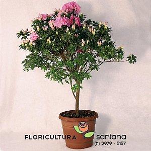 Azaleia Árvore rosa - 27