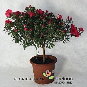 Azaleia Árvore pink- 27