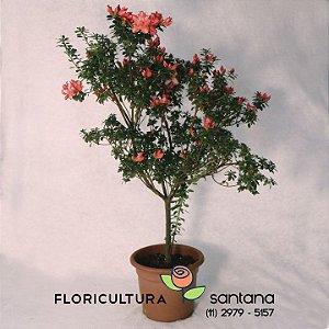 Azaleia Árvore laranja- 27