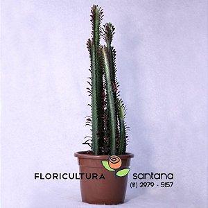 Cactus Euphorbia Trigona pote 27
