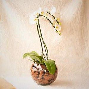 Orquídea Branca CACHEPÔ PODE VARIAR