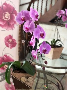 Orquídea Lilas (a cor pode sofrer alteração).