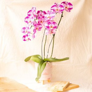 Orquídea Lilás/ Rosa (a cor pode variar).