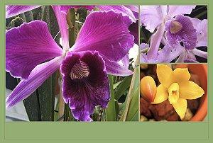 Pacote Promo #01 (Orquídeas Especíes Adultas)