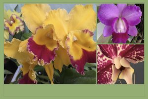 Pacote Promo #03  (Orquídeas Adultas Variadas)