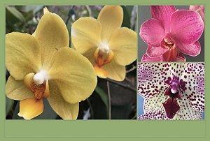 Pacote Promo #04  (Orquideas Phalaenopsis Adultas)