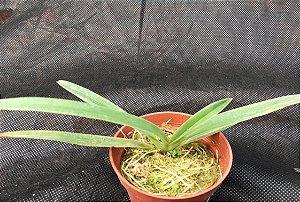 Paphiopedilum coccineum