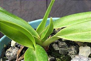"""Phragmipedium lindeianum """"Bahia"""""""
