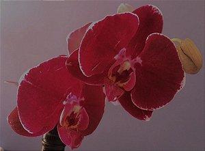Phalaenopsis Sogo Pink