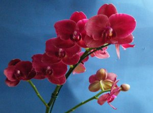 Phalaenopsis Van Der Holland Red
