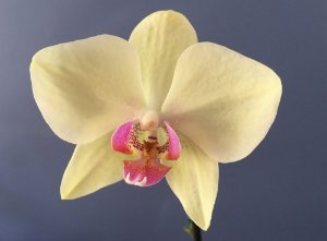 Phalaenopsis Carel Cambell