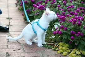 Peitoral e Guia Ajustável para Gato c/ 06 un