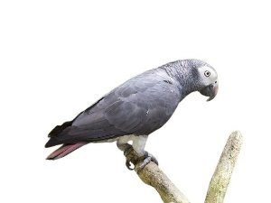 Papagaio Timneh (Psittacus timneh)
