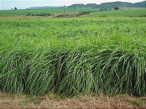 Capim Massai (Panicum Maximum) Sementes Facholi - Embalagem c/ 8 kg