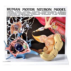Diorama de um Neurônio Motor - TGD-0008