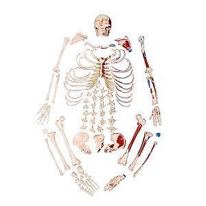 Esqueleto Tamanho Natural Desarticulado com Origem e Inserção Muscular - TGD-0101-M
