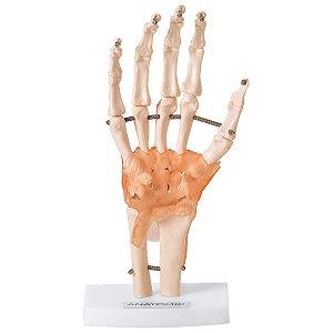 Articulação da Mão com Ligamentos - TGD-0162-C