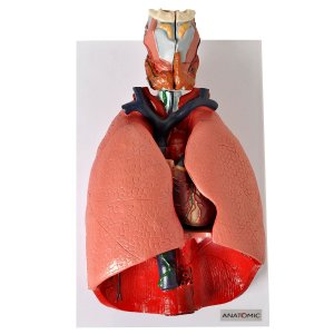 Sistema Respiratório e Cardiovascular7 Partes - TGD-0318-B