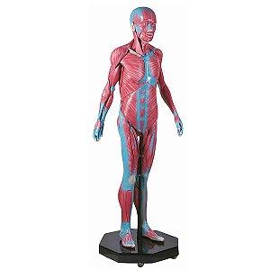Manequim Muscular Assexuado de 170 cm em 38 Partes - TGD-4000