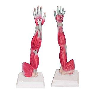 Músculos do Membro Superior (Braço) - TGD-4010