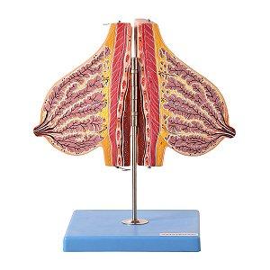 Glândula Mamária em Lactação - TZL-0323-L