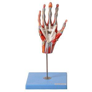 Mão Muscular Principais Nervos e Vasos 5 Partes - TZJ-0330-M
