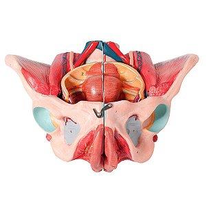 Pelve Feminina Clássica Músculos e Órgão Genital em 4 Partes