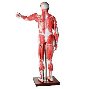 Manequim Muscular Assex. 170cm com Órgãos Internos 30 Partes
